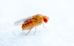 Les amphibiens, mais aussi les lézards, apprécient aussi les drosophiles, ici Drosophila melanogaster. Photo : Vera Kuttelvaserova – Fotoflia
