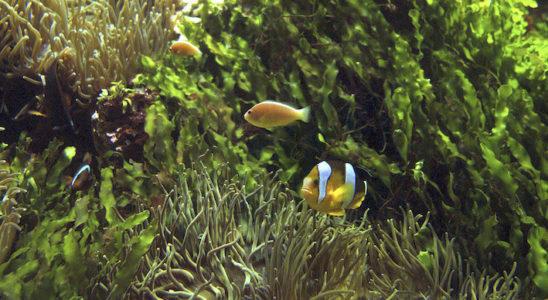 Les algues du genre Caulerpa peuvent trouver leur place dans un aquarium spécifique, qu'il s'agisse d'une reproduction d'herbier, d'une cuve de reproduction ou simplement d'un choix esthétique. La combinaison de ces Amphiprion spp., d'Heteractis crispa et de Caulerpa prolifera est du plus bel effet. Photo : Aqua Press