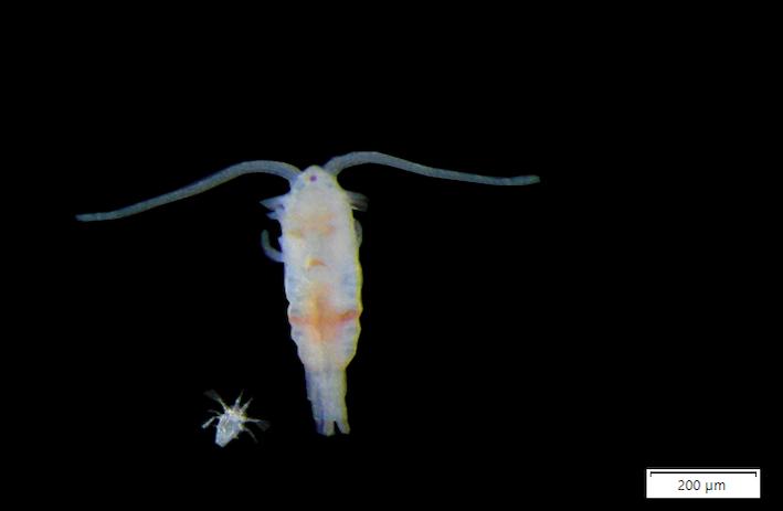 Parvocalanus crassirostris (photo adulte et larve © Emilien Deposé–Franck Pericat–Université de Lille) est une des principales espèces de copépodes distribuées.