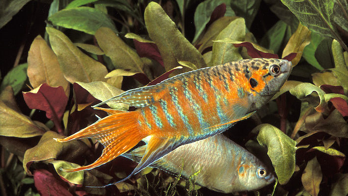 Le poisson paradis ou macropode (Macropodus opercularis) orne les aquariums français depuis… 1869 ! Photo : Aqua Press