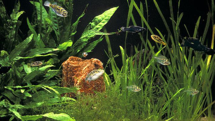 L'aquarium d'eau saumâtre offre suffisamment d'espèces végétales et piscicoles pour créer une ambiance unique et esthétique, à condition de ne pas être trop sourcilleux sur l'origine géographique. Ici, on retrouve des Tetraodon, Carinotetraodon spp. et Parambassis lala (perche de verre) d'Asie du Sud-Est, en compagnie du vivipare américain Poecilia velifera. La végétation est constituée de cornifle, Ceratophyllum demersum. Photo : Aqua Press