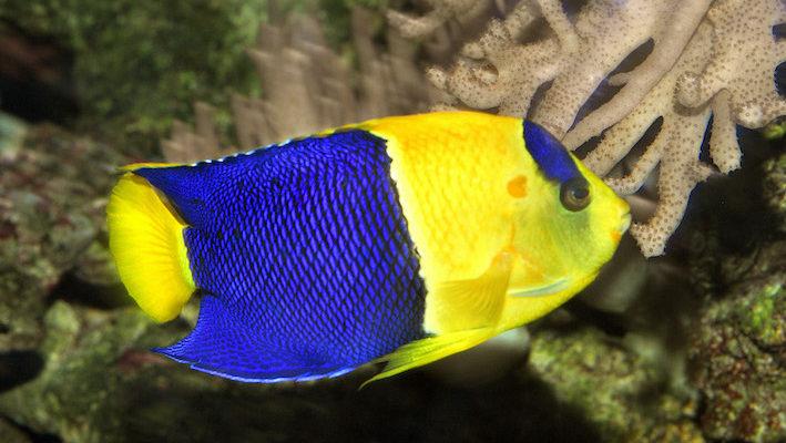 Centropyge bicolor est l'une des espèces les plus connues du genre. Photo : Aqua Press – Aquarium du Cap d'agde