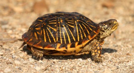 Terrapene ornata (femelle). Photo : Steve Byland - Fotolia.com