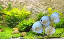 Quel autre poisson d'eau douce présente une telle diversité de couleurs, sinon le discus ? Relativisons toutefois, pour paraître objectifs : les animaux présentés ici sont tous issus du travail de sélection. Il n'empêche qu'ils séduisent chaque année un nombre impressionnant de nouveaux adeptes.