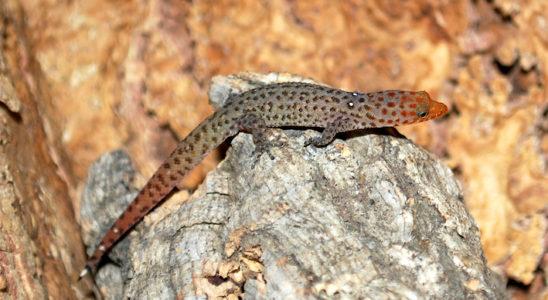 Mâle Sphaerodactylus difficilis diolenius, spécimen particulièrement coloré : notez le léger renflement hémipénien à la base de la queue. Photo : Yann Fulliquet