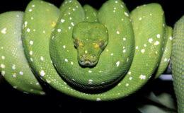 Une même population peut chevaucher plusieurs régions géographiques, et une région géographique peut correspondre à l'aire de répartition de plusieurs populations morphologiquement proches, mais différentes sur le plan génétique. C'est par exemple le cas des pythons verts, Morelia viridis. Le risque d'hybridation est alors élevé si l'éleveur amateur ne s'inquiète pas des données biogéographiques afin de conserver des lignés bien identifiées. Photo : Gireg Allain