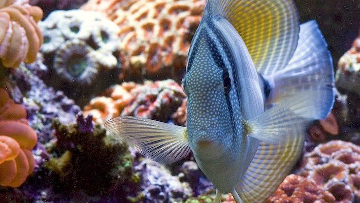 Magnifique Zebrasoma desjardinii, toutes voiles dehors. La croissance de ces poissons est extraordinairement rapide. Il faut en être conscient lorsqu'on en adopte un car l'aquarium peut vite devenir trop étroit pour lui ! Photo : Sabine Penisson