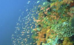 Un tombant est une paroi rocheuse qui s'enfonce dans le bleu abyssal. Les plongeurs apprécient cette zone luxuriante du récif, qui recèle de nombreuses richesses naturelles à explorer. Photo : Vince