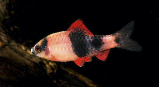 Puntius fasciatus pradhani est commercialisé parfois sous le nom de P. melanampyx, dont l'identité semble incertaine. (Remerciements à la Pisciculture d'Estalens)