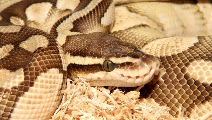 Python regius, de part son mode de vie, supporte bien la vie en rack, et de nombreux éleveurs ont adopté cette méthode particulière. Dans son milieu naturel, son lieu de retraite privilégié inclut les terriers de mammifères et d'autres cachettes souterraines. Photo : Gireg Allain
