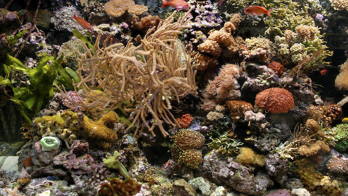 Il faut régulièrement élaguer, bouturer et déplacer les coraux pour aérer le décor et renouveler son esthétique au gré des croissances. Photo : Aqua Press