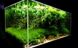 Les plantes gazonnantes contribuent, dans de nombreux décors, à mettre en valeur les roches ou les racines et à les intégrer de manière très naturelle dans le paysage. Photo : T. Amano