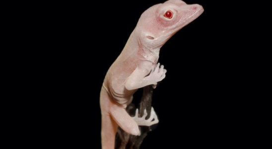 Anolis Tyr-crispant albinos, issu de la modification génétique. Photo : Douglas B. Menke.