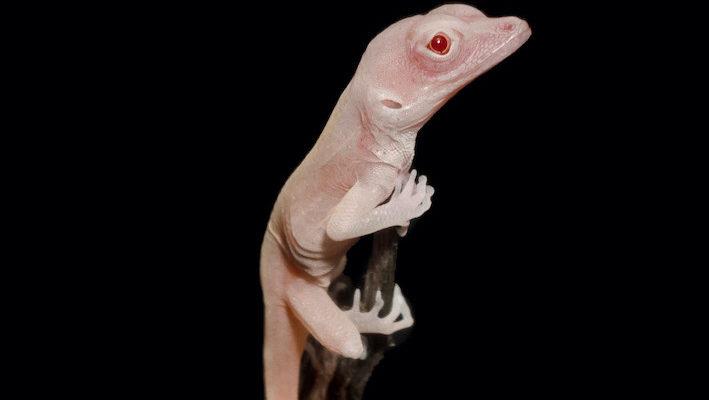 Anolis Tyr-crispant albinos, issu de la modification génétique. Photo : Douglas B. Menke.