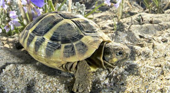 Jeune Testudo hermanni dans son milieu. Photo : Naturecolors