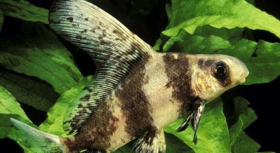 L'offre en poissons de bassin ne se limite pas qu'aux Cyprinidés les plus connus que sont le poisson rouge et la carpe koï. On peut trouver d'autres espèces intéressantes et même quelques raretés à l'allure incroyable, tel que l'empereur de Chine (Myxocyprinus asiaticus). Toutefois, il est assez délicat et ne convient qu'aux amateurs avertis. Photo : Aqua Press