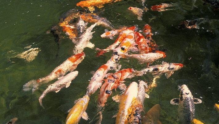 Un bassin peuplé de carpes colorées attire immanquablement le regard, ces poissons en étant l'attraction principale. Toutefois, pour avoir de beaux koïs, il faut de la rigueur dans le choix initial. Photo : Aqua Press