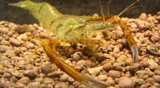 Chez Macrobrachium dayanum, la crevette chocolat, les mâles dominants se reconnaissent aisément à leur large première paire de pinces. L'espèce est originaire d'Inde, plus précisément de la région de la rivière Kaira, dans le sud. Photo : Jirí Libus