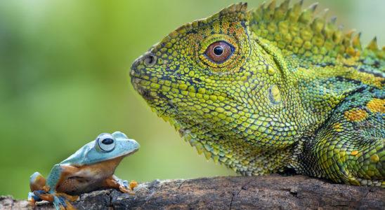 Que cela concerne les amphibiens comme ce Rhacophorus nigropalmatus ou les reptiles comme ce Gonocephalus chamaeleontinus et plus généralement les animaux d'espèces non domestiques, les détenteurs doivent tenir un registre des entrées et sorties de ces animaux. Néanmoins, il y a quelques exceptions. Photo : Rizaarif