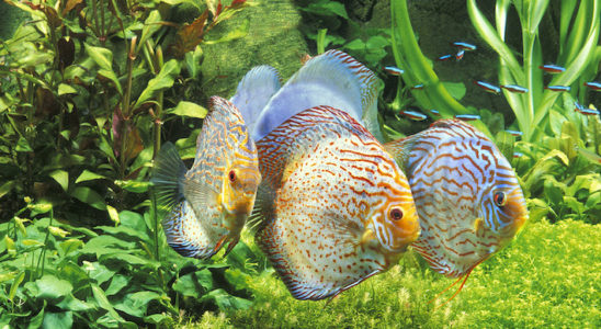 Il est possible d'éventuellement maintenir des discus (genre Symphysodon) dans une eau qui n'est pas des plus douces et acides. Cela dépend de l'origine : sauvage ou élevage (et selon la situation géographique !). En bref, mieux vaut de toute manière toujours coller au plus près des paramètres physico-chimiques de l'eau naturelle des poissons. Photo : Aqua Press