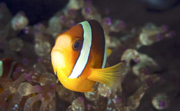 Amphiprion clarkii est un hôte tout désigné pour s'essayer à la reproduction marine ou parfaire sa pratique. Photo : Vince
