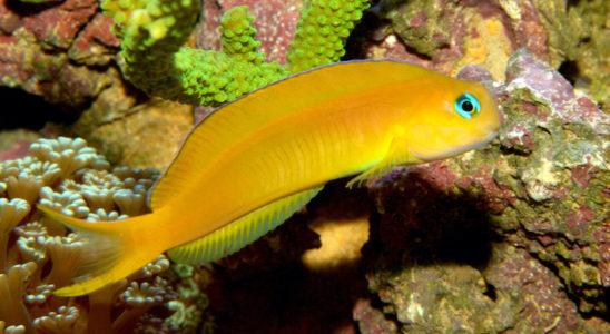La maintenance d'Escenius midas et de ses compagnons planctophages en aquarium nécessite une alimentation haut de gamme. Les copépodes peuvent entrer dans le menu d'un grand nombre d'entre eux. Photo : Gireg Allain