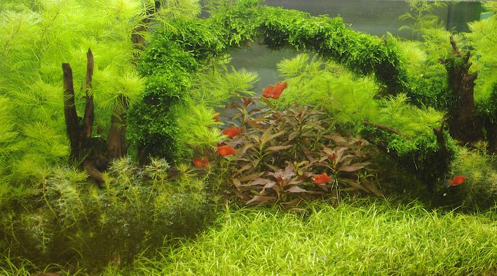 Si les platys peuvent être maintenus dans un volume d'à peine 50 litres, il est plutôt recommandé de leur offrir un maximum d'espace. Cela les met en valeur, et l'on voit alors souvent la colonie s'agrandir, grâce aux nombreuses naissances. En effet, lorsqu'il y a de la place et de la nourriture à disposition, ces vivipares sont peu enclins à manger leur progéniture. Photo : Aqua Press (Tropica)