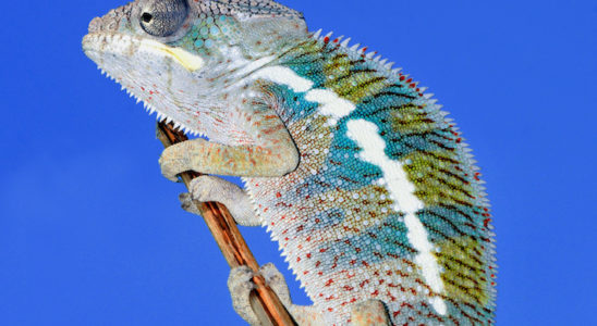 Furcifer pardalis. Photo : Taboga