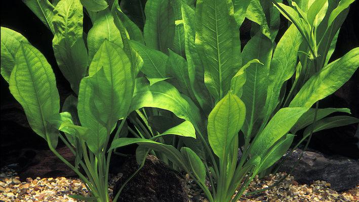 Précédemment connue, entre autres, sous Echinodorus bleheri (puis E. bleherae), l'une des plantes phares du genre se nomme désormais E. griesebachi. Photo : Aqua Press (Tropica)