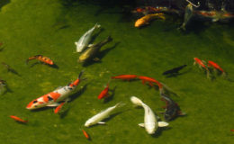 L'harmonie visuelle du bassin passe autant par le décor des berges, sa mise en situation et bien sûr par la bonne santé et la vivacité des poissons. L'amateur doit donc toujours être prêt à intervenir en cas de pathologie… et avec les produits adéquats. Photo : Aqua Press