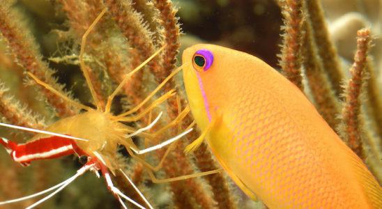Pseudanthias squamipinnis se fait nettoyer par Lysmata amboinensis. Cette espèce abondante de barbiers est assez courante chez les détaillants. Elle doit être maintenue en groupe pour faciliter l'acclimatation. Photo : Aqua Press