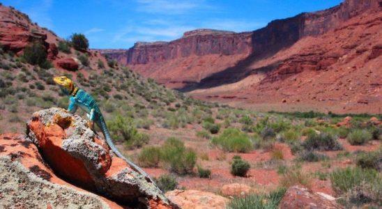 Crotaphytus collaris, mâle, dans la région de Moab (Utah, États-Unis) Photo : W. & K. Wells.