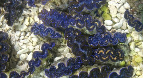 Les jeunes Tridacna spp. vus de dessus font apprécier l'éclat de leur manteau qui contraste sur le fond clair. Photo : Aqua Press – Poisson d'Or