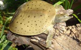 Jeune trionyx épineux (Apalone spinifera) mâle. Les ocelles ne sont présents que chez les mâles et les jeunes femelles.