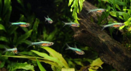 La forme turquoise serait la seule qui correspondrait à l'espèce bien connue Sundadanio axelrodi. Photo : Aqua Press