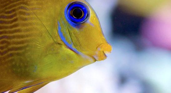 Un jeune Acanthurus caeruleus. Sa transformation est spectaculaire car, de jaune, il deviendra entièrement bleu à l'âge adulte. Son aire de répartition est confinée à l'Atlantique Ouest, jusqu'à l'île de l'Ascension. Photo : Sabine Penisson