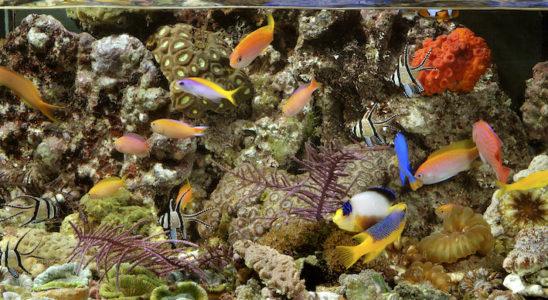 Photo : Aqua Press – Poisson d'Or Mieux faut savoir comment réagir en cas de dérèglement ou d'accident inopiné dans l'aquarium.