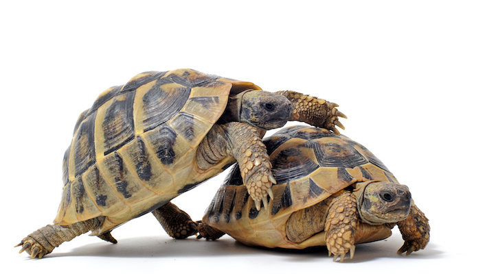 Jeunes tortues d'hermann. Photo : cynoclub - Fotoflia
