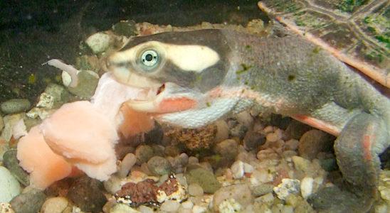 Emydura subglobosa mangeant un morceau de saumon. Photo V. Noël.