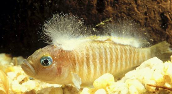 Ce Neolamprologus multifasciatus est sévèrement infecté par une saprolegniose. Si les mycoses peuvent se traiter assez efficacement, mieux vaut ne pas attendre qu'elle atteigne de telles proportions, plutôt dangereuses et qui laisseront des séquelles. Photo : Aqua Press