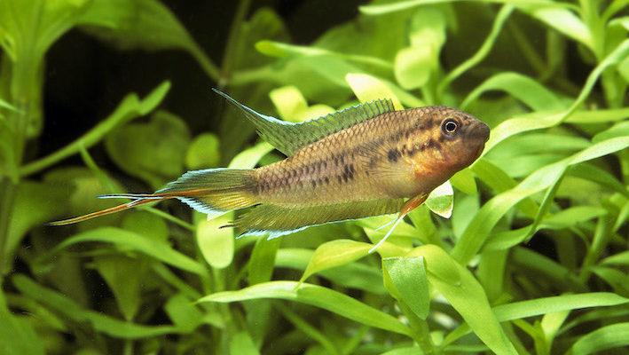 Les nageoires du mâle sont effilées, la caudale très longue se termine par des prolongements bleu ciel et orange.