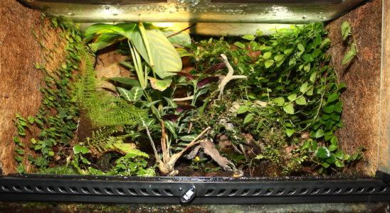 Un terrarium à dendrobates, Ficus pumila couvre la paroi droite, et F. pumila 'Quercifolia' court sur la paroi gauche, toutes deux recouvertes de fibre de coco. Photo Gireg Allain.